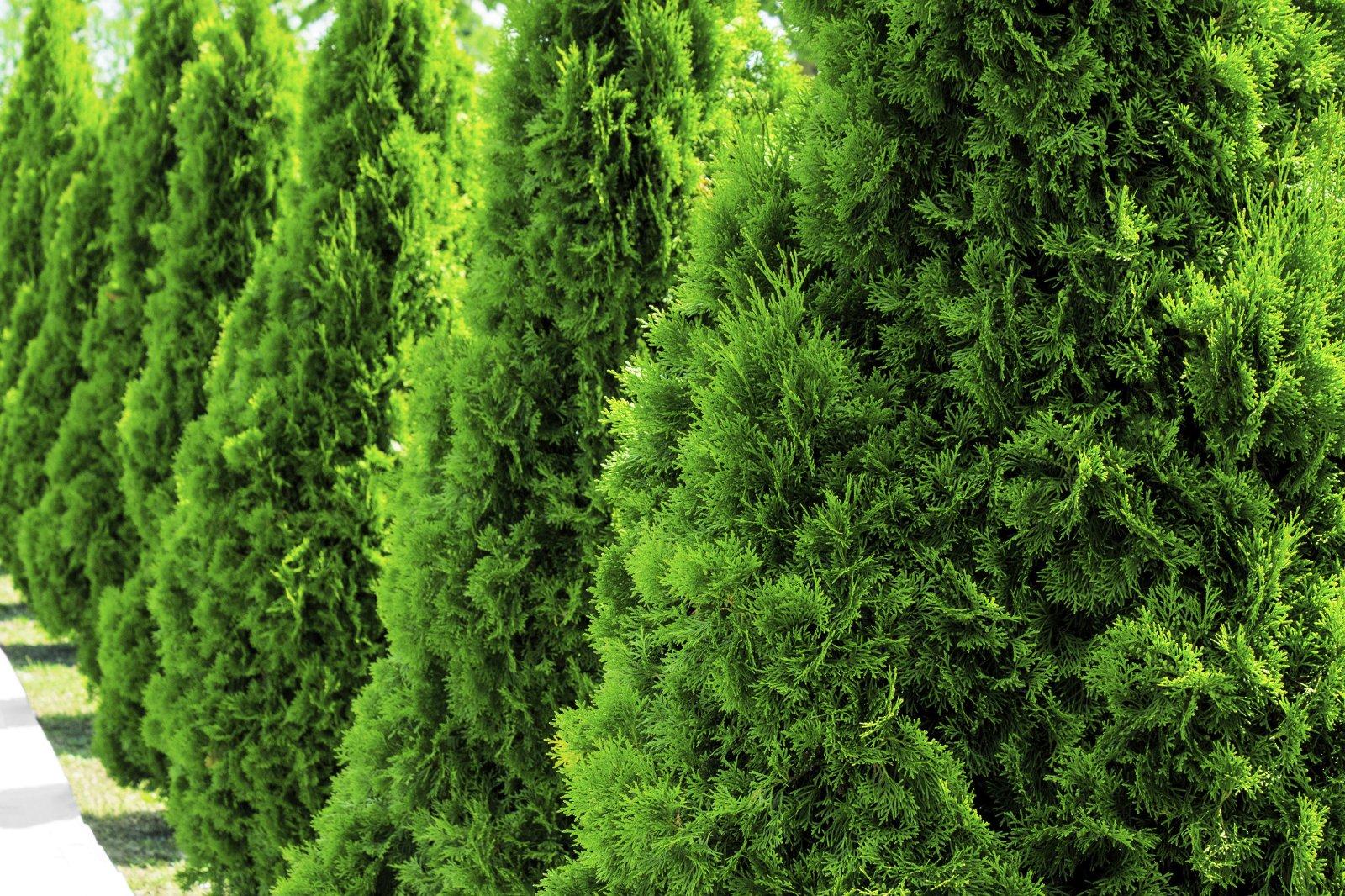 Tree-Shrub care program