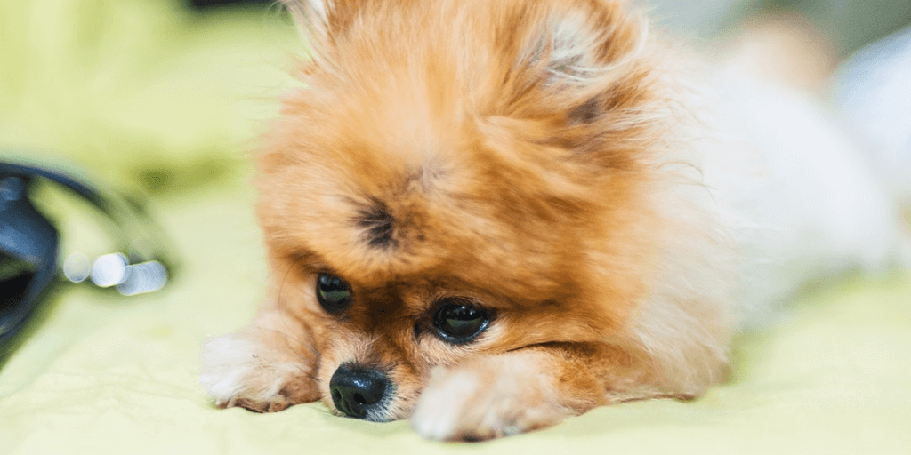 13 of the World's Tiniest Dog Breeds