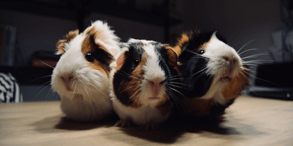 Know Facts Before Purchasing a Guinea Pig