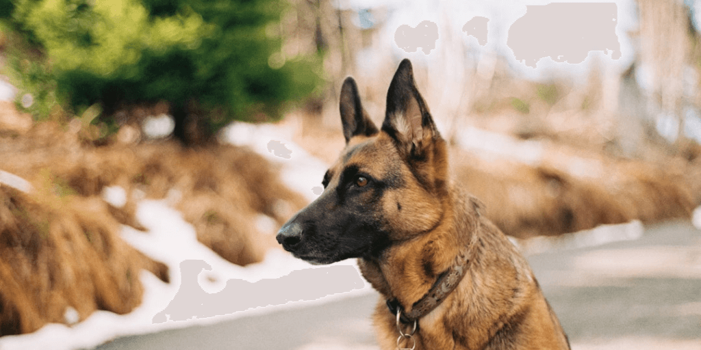 Things You Should Know Before Getting a German Shepherd