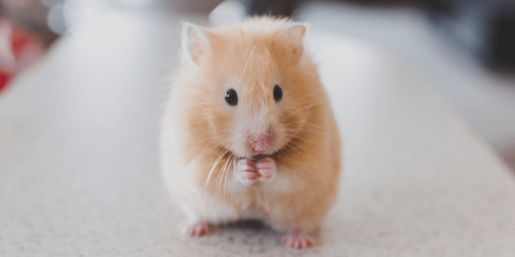 Teddy Bear Hamster: Lifespan And Characteristics