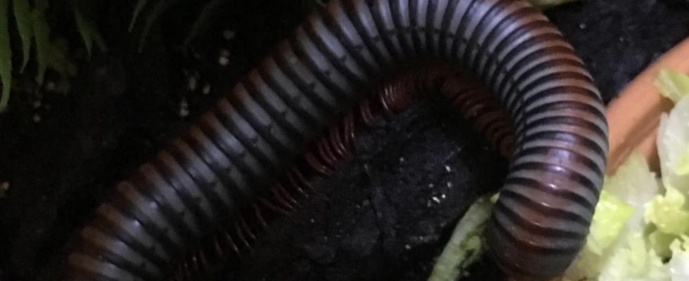 My millipedes