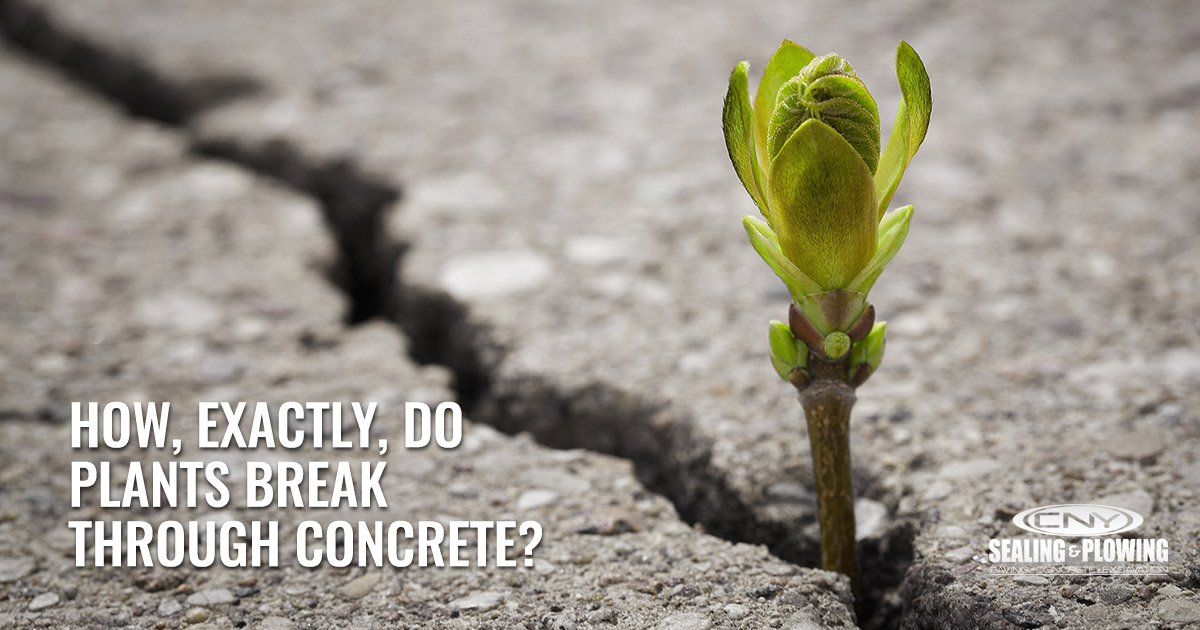 How, Exactly, Do Plants Break Through Concrete?
