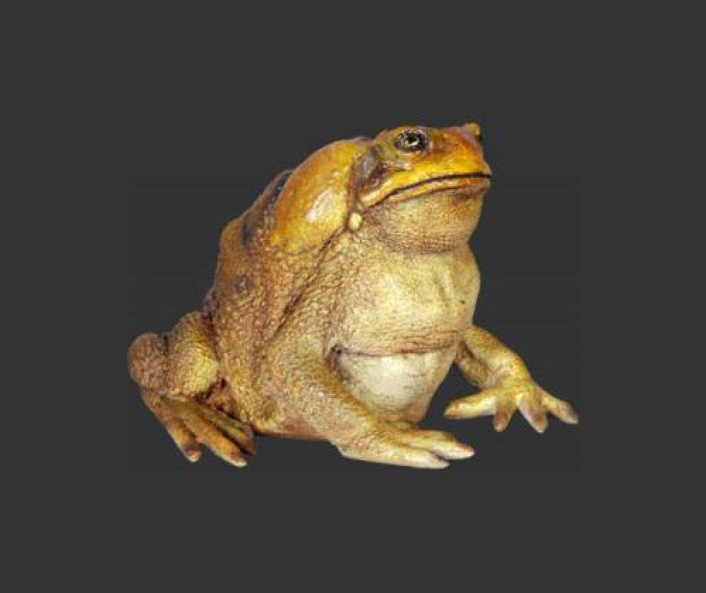 Frog - Cane Toad