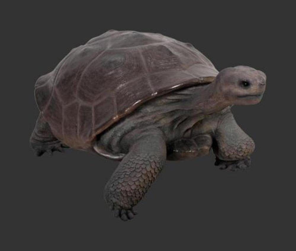 Galapagos Tortoise - ONLY 2 AVAILABLE
