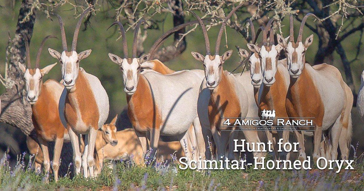 Hunt Scimitar-Horned Oryx in Texas