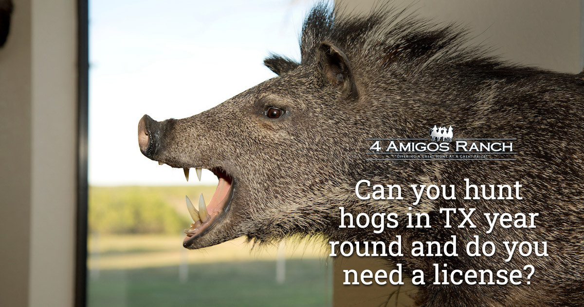 Do You Need a License to Hunt Hogs Year-round in Texas?