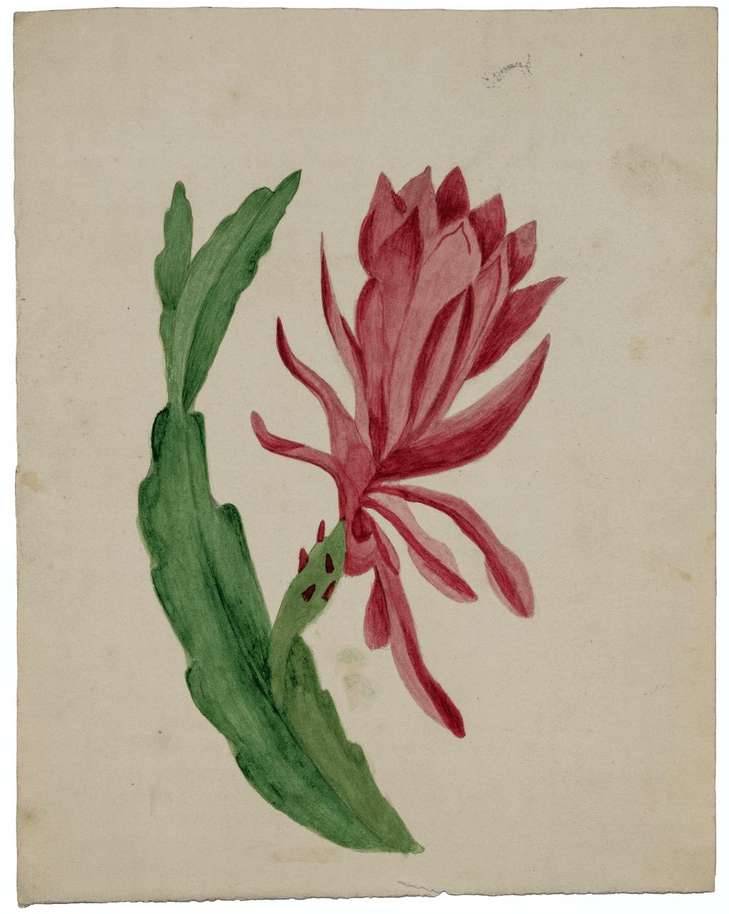 An Antique Botanical Watercolor Study
