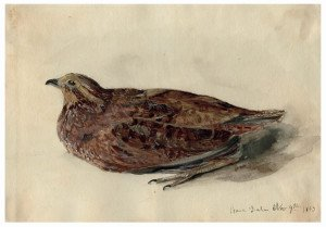 An Antique Watercolor Painting Of A Quail Peace Dale RI, 1863