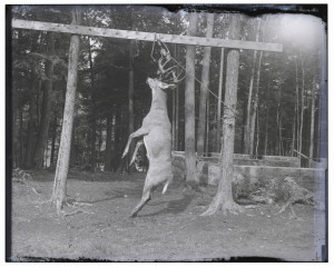 An Antique Glass Plate Negative Hunting Photograph Of A Hung Buck
