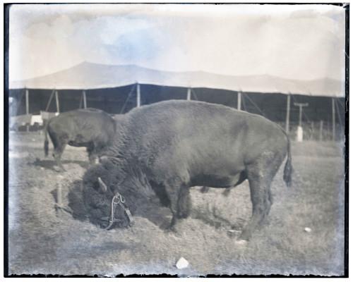 An Antique Glass Plate Negative Photograph Of An American Buffalo