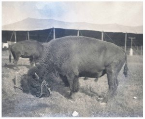 An Antique Glass Plate Negative Photograph Of An American Buffalo