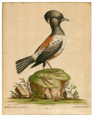 An Antique 18th Century Ornithology Etching By Edwards | Johan Seligman #39